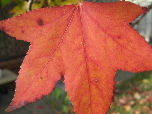 close-up of an orange maple leaf