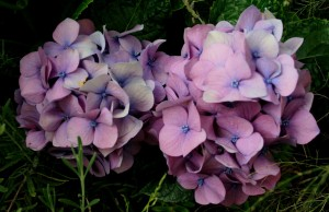 mauve hydrangea